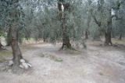 Terreno a fasce di circa 5.300 metri quadrati a uliveto, con annesso bosco con vista mare.